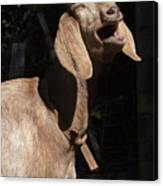 Operatic Goat Canvas Print