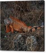 Oranage Iguana Canvas Print