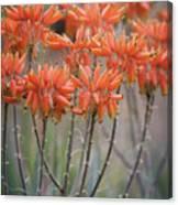 Orange Aloe  Canvas Print