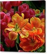 Orange And Red Tulip Lilies In Various Stages Of Bloom Canvas Print