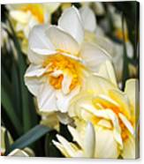 Orange And Yellow Double Daffodil Canvas Print