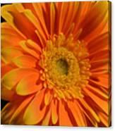 Orange And Yellow Tip Gerbera Daisy Canvas Print