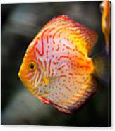 Orange Aquarium Fish In Zoo Canvas Print