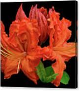 Orange Azalea Canvas Print