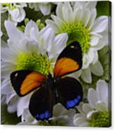 Orange Blue Butterfly On Poms Canvas Print