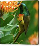 Orange-breasted Sunbird Feeding On Protea Blossom Canvas Print