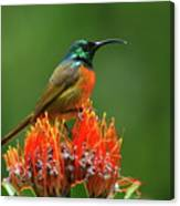 Orange-breasted Sunbird On Protea Blossom Canvas Print