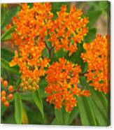 Orange Butterfly Weed From Above Canvas Print