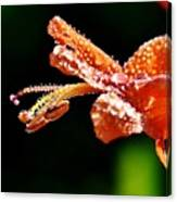 Orange Cape Honeysuckle Bush Blossom Canvas Print