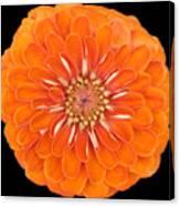 Orange Crush Zinia Canvas Print