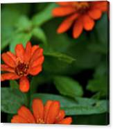 Orange Daisey's Canvas Print