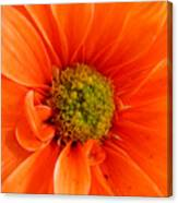 Orange Daisy - A Center View Canvas Print