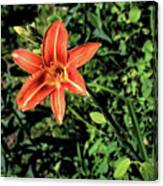 Orange Day Lily 1 Canvas Print