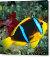 Orange-fin Anemonefish Canvas Print