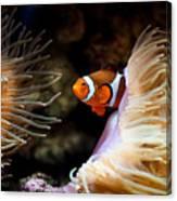 Orange Fish In Sea Anemones Canvas Print