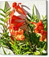Orange Trumpet Flowers At Pilgrim Place In Claremont-california  Canvas Print