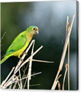 Orange-fronted Parakeet Canvas Print