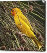 Orange Fronted Yellow Finch Panaca Quimbaya Colombia Canvas Print