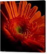 Orange Gerbera Canvas Print