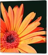 Orange Gerbera On Black Right Side  Canvas Print