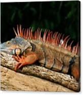 Orange Iguana Close Up Canvas Print