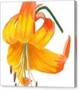 Orange Lily No 3 Canvas Print