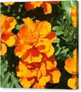 Orange Marigolds In Bloom Canvas Print