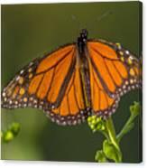 Orange Monarch Canvas Print