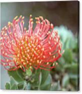 Orange Pincushion Protea Canvas Print