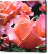 Orange-pink Roses  Canvas Print