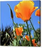Orange Poppy Blue Sky Canvas Print