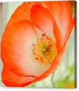 Orange Poppy Offering Nectar Canvas Print