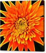 Orange Star Flower Canvas Print