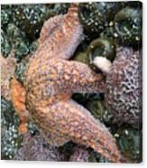 Orange Starfish Canvas Print