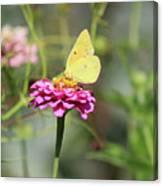 Orange Sulphur Butterfly In Garden Canvas Print