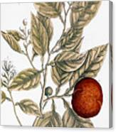 Orange Tree, 1735 Canvas Print