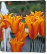 Orange Tulips In A Colonial Garden Canvas Print