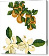 Oranges and Orange Blossoms Canvas Print