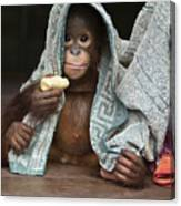 Orangutan 2yr Old Infant Holding Banana Canvas Print