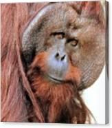 Orangutan Male Closeup Canvas Print