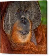 Orangutan Male Canvas Print