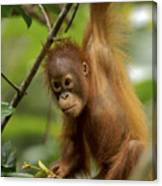 Orangutan Pongo Pygmaeus Baby Swinging Canvas Print