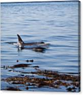 Orca Whales In The San Juan Islands Canvas Print