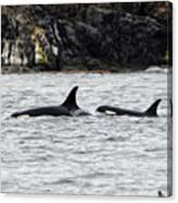 Orcas In The Salish Sea Canvas Print