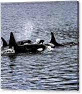 Orcas, The Killer Whales Canvas Print
