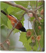 Orchard Oriole Canvas Print