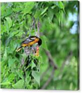 Orchard Oriole Feeding The Kids Canvas Print