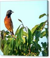 Orchard Oriole Songbird Perched On A Bush Canvas Print