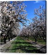 Orchard Trees Blossoming Canvas Print