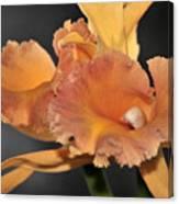 orchid 955 Orange Brassolaeliocattleya Canvas Print